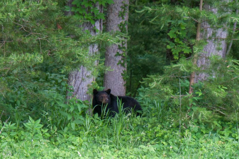 Smoky Mountains – Bears