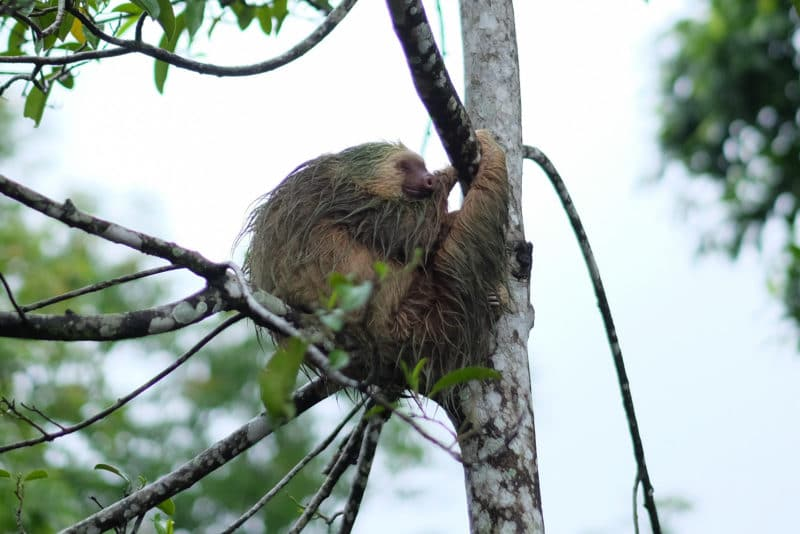 Sloth in La Fortuna